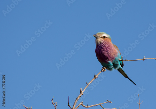 Lilac Breasted Roller front 2 Poster