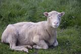 Sheep lying down - 177435332