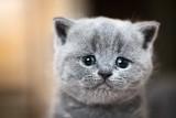 Cute kitten portrait. British Shorthair cat - 177436300