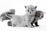 Blue-eyed baby cats standing. British shorthair. - 177436336