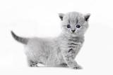 Cute kitten portrait. British Shorthair cat - 177436354