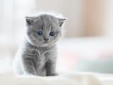 Cute kitten on bed. British Shorthair - 177436378