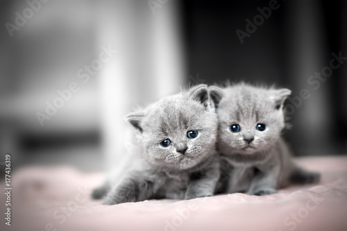 Obraz Two cute kittens cuddle each other. British Shorthair