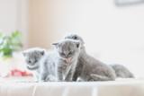 Litter of kittens in home. British Shorthairs - 177436509