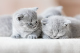 Two cute British shorthair cats. - 177438721