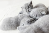 Cuddling cats laying together. British shorthair. - 177438758