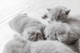 Young cats snuggling togrther. British shorthair. - 177438781