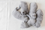 Bunch of fluffy cats. British shorthair. - 177439183
