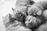 Cluster of sleeping cats. British shorthair. - 177439392