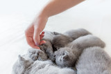 Woman's hand petting a cluster of cats. British Shorthair. - 177439519