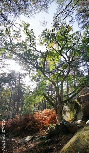 Fotobehang Khaki arbre remarquable sur le sentier du rocher canon en forêt de Fontainebleau