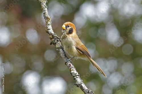 Spot-breasted Parrotbill Paradoxornis guttaticollis Beautiful Birds of Thailand Poster