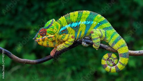 Panther kameleon Furcifer pardalis Ambilobe 2 lata endemiczny z Madagaskaru