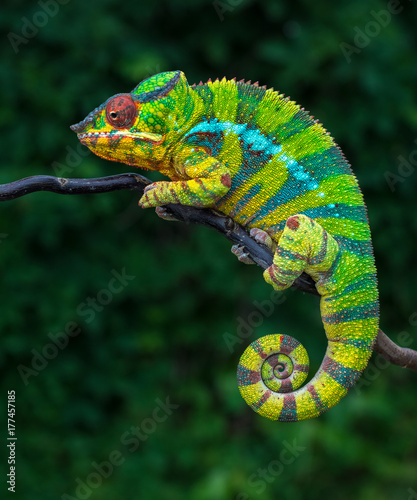 Plexiglas Kameleon Panther chameleon Furcifer pardalis Ambilobe 2 years old endemic from madagascar
