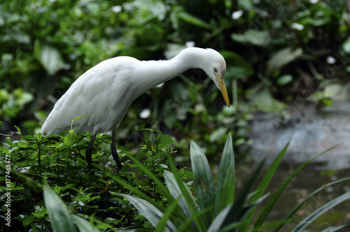 white egret bird Poster