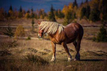 Grazing horse on mountain pasture
