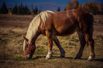 Grazing horse on alpine pasture