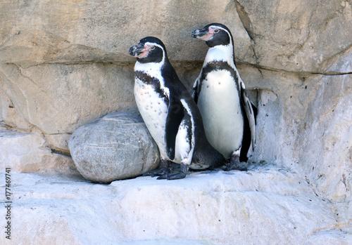 Fotobehang Pinguin I pinguini di Humboldt in piedi sulla roccia
