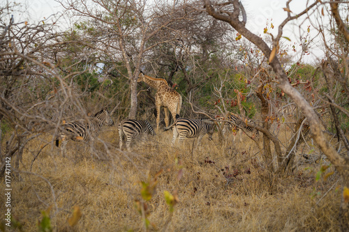 Zebras grazing with giraffe among bare trees Poster