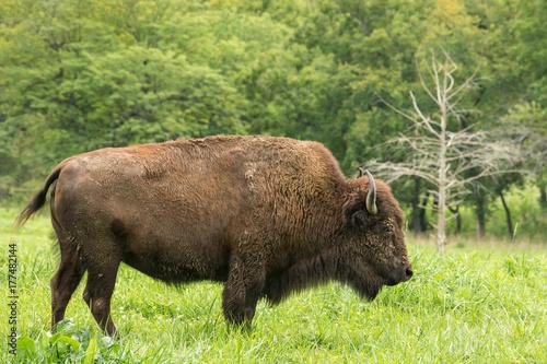 Aluminium Bison Bison Cow