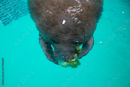 manatee eating lettuces Poster