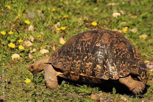 Fotobehang Schildpad A quick walk