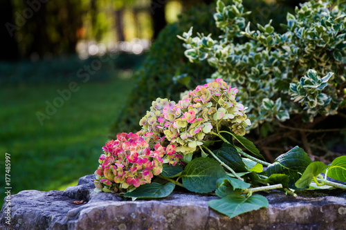 Hydrangea flowers cut and placed on a rock with garden in background; flowers finishing for the fall and color fading