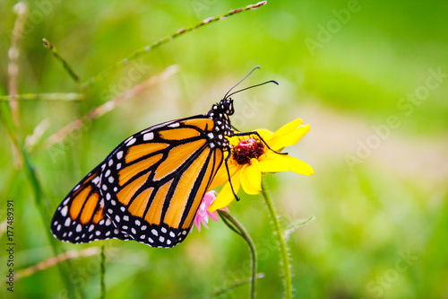 Fotobehang Vlinder Monarch Butterfly on Flower 5