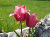 Pnk Tulips - 177489506