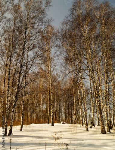 Fotobehang Berkenbos Winter landscape with birch by grove