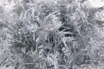 Grey floral background of ferns. Close up floristics composition of asparagus setaceus similar to winter mist on window. Holidays, freshness and coldness decoration concept