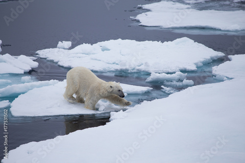 obraz lub plakat A polar bear navigates between the melting sea ice