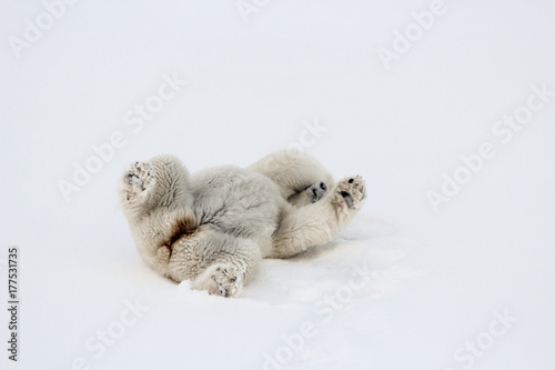 fototapeta na ścianę A polar bear rolling around on the sea ice