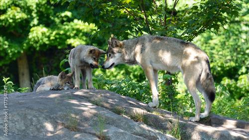 Aluminium Wolf Family