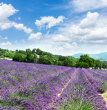 Lavender blomming flowers field with summer blue sky and clouds, France - 177555781