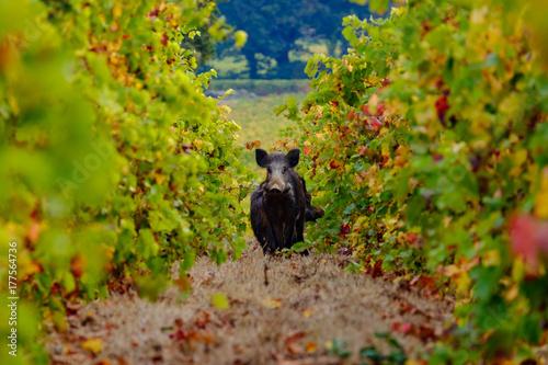 Foto op Plexiglas Natuur Les sanglier dans les vignes gros plan.