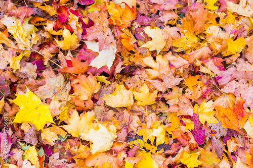 Papiers peints Stockholm Colorful autumn leaves on the ground. Vivid fall colors - red, yellow, orange, brown, bordo. Good for background.