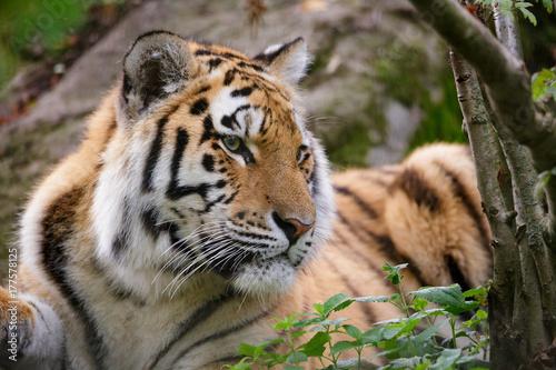 Siberian tiger panthera tigris altaica in zoo Poster