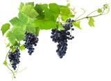 vigne et grappes de raisin, fond blanc - 177593924