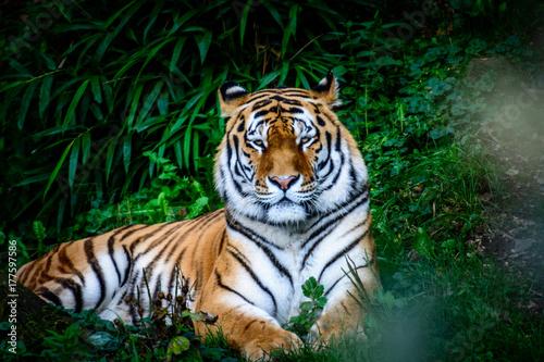 resting Amur tiger Poster