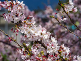 Japanese Cherry Blossoms in the Spring time. - 177598737