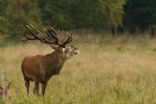 Fotobehang Hert Red deer - Rutting season