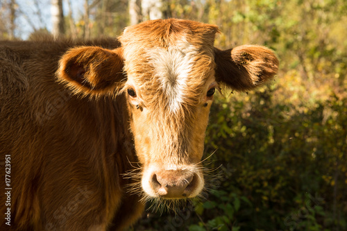little curious calf walking on the road Poster
