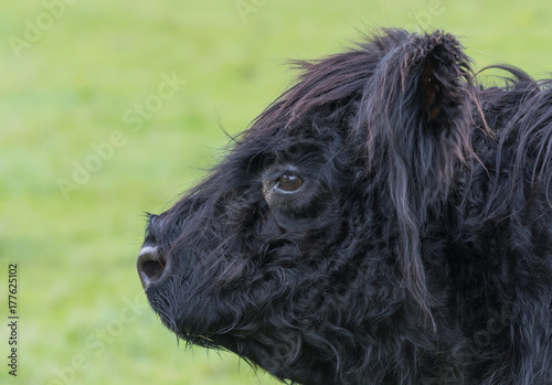Side head view of a Aberdeen Angus calf Poster