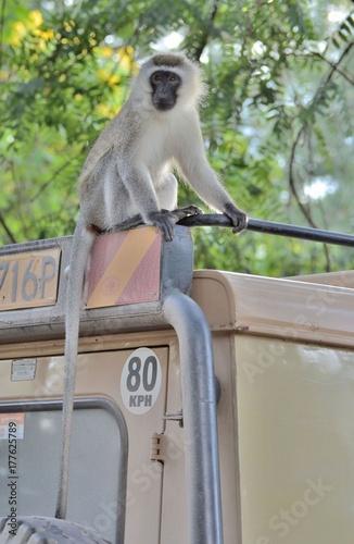 Aluminium Aap singe de vervet sur le toit d'un 4X4, dans le parc Amboseli, au Kenya