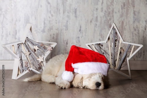 Poster white puppy with santa claus  cap