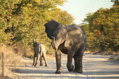 Zwei Elefanten auf dem Weg in Botswana Poster