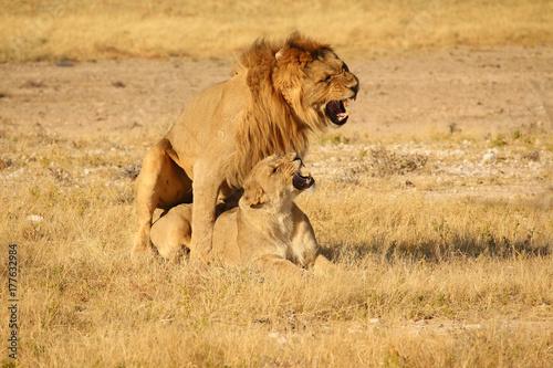 Löwen bei der Fortpflanzung Poster