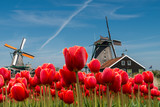 Dutch windmill over red tulips field in spring, Netherlands