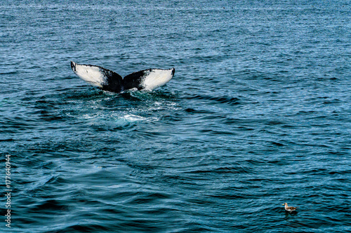 Humpback Whale Provincetown, Cape Cod, Massachussetts, US Poster